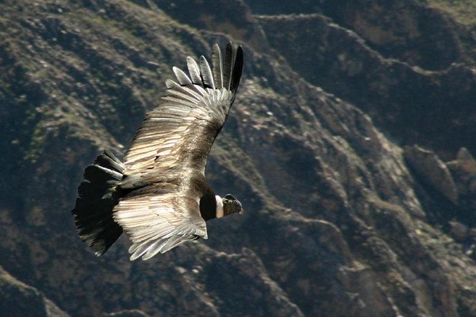 Andean condor soaring over Colca Canyon, Peru