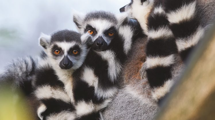 Image: Madagascar's lemurs. Credit: Adventure World.