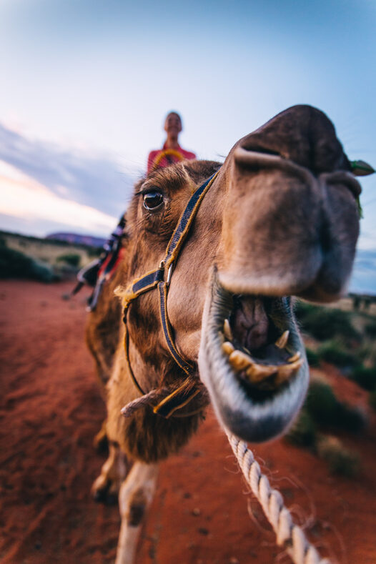 Close-up of a camel at Uluru-Tourism NT Henry Brydon