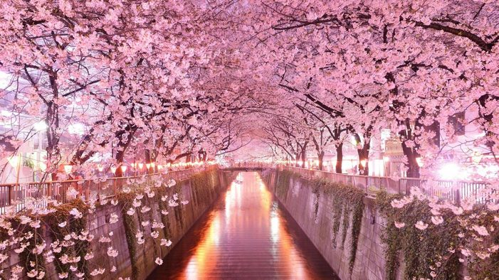 The blossoms spring to life at different times across Japan