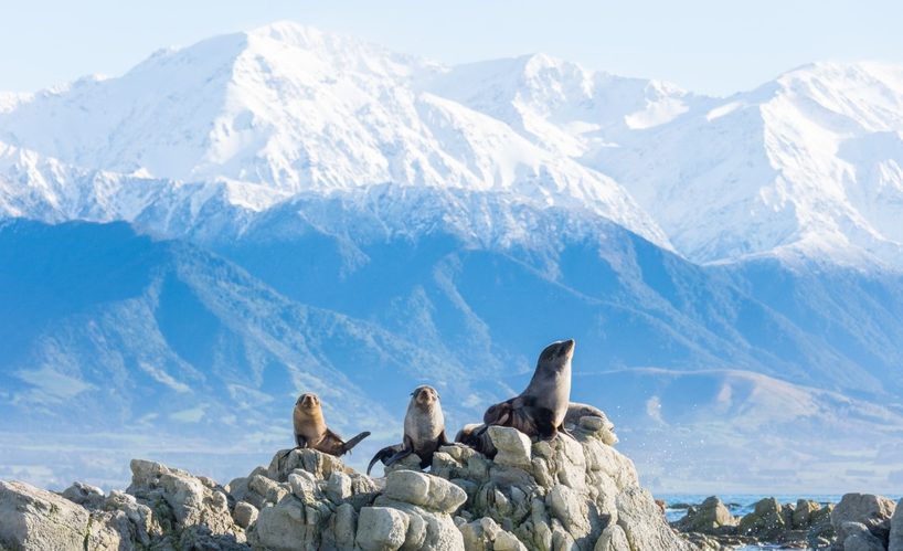 Image: New Zealand fur seals, Kaikoura. Image: Bare Kiwi