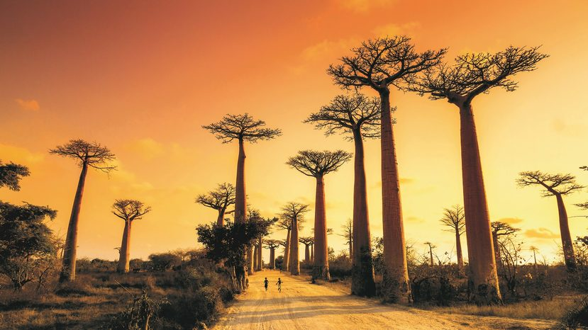 Image: Madagascar's striking Boab trees. Credit: Adventure World.