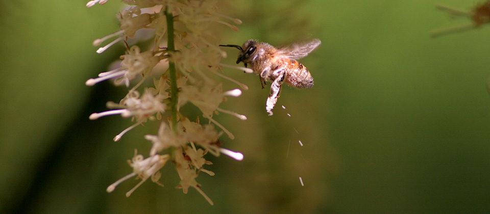 Flowering Honey Bee