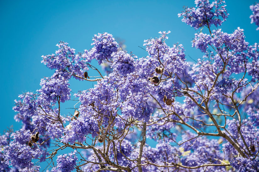 Grafton Jacaranda Tree